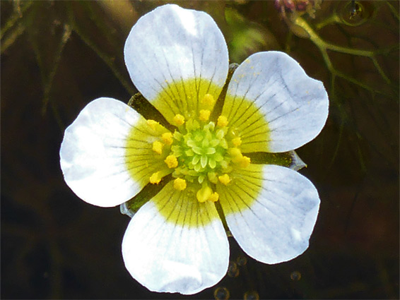 Ranunculus baudotii (brackish water-crowfoot), Stert Point, Somerset