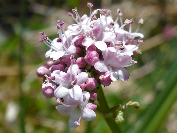 Flower cluster of marsh valerian (valeriana dioica), Bracketts Coppice, Dorset