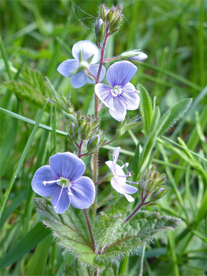 Veronica chamaedrys (germander speedwell), Lower Woods, Gloucestershire
